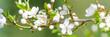 canvas print picture - kirschblütenzweig als banner