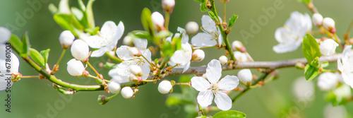 Fotobehang Bomen kirschblütenzweig als banner