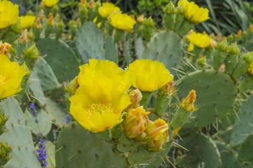 Cactus blooms Opuntia ficus-indica flower
