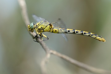 Onychogomphus forcipatus, female