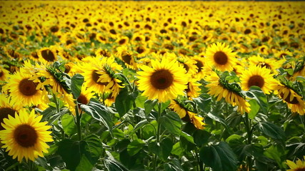 backgound of sunflowers field