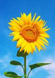 Fototapety Sunflowers in the field