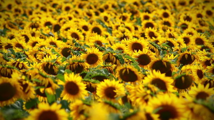 Backgound of sunflowers field