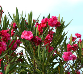 red Oleander flowers with the sky in the background