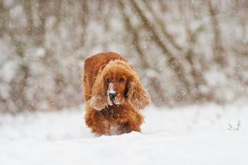 cocker spaniel dog in the snow