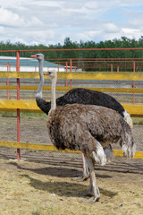 Siberia. African ostriches on a farm