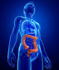 Male large intestine anatomy