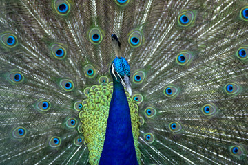 Close up Beautiful peacock