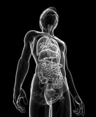 Male digestive system x-ray artwork