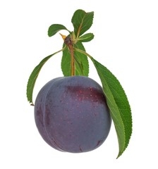 Intact plum