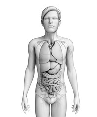 Digestive system of male anatomy