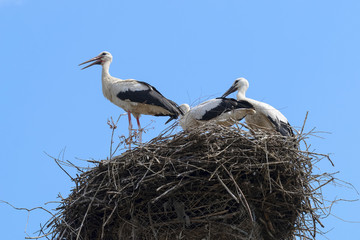 Bunch of white storks in the nest
