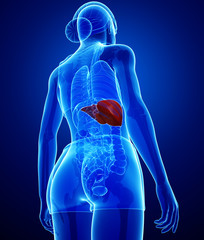 Female liver anatomy