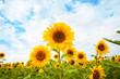 Field of sunflowers - 67872671