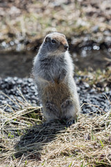 Ground squirrel standing on hind legs