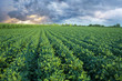 Soy field with rows of soya bean plants - 67873418