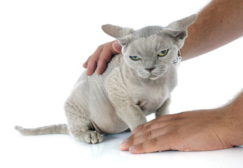 stroking devon rex