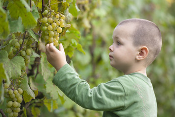 boy picked grapes