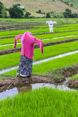 scarecrow in rice field, Thailand