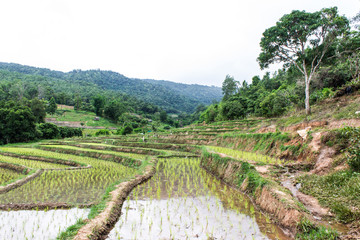 Rice field terraces in doi inthanon, Ban Mae Aeb Chiangmai Thail