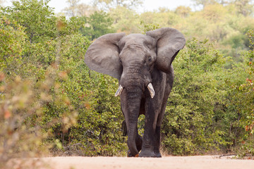 Large elephant flapping it's ears