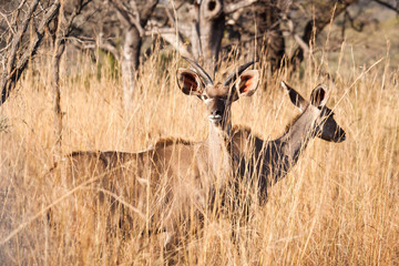 Two young Kudu antelope standing in long grass