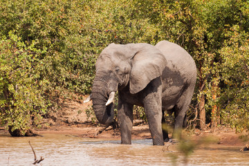 Large elephant bull splashing in the water