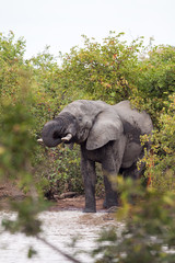Large elephant bull drinking water