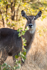 A female waterbuck stares into the camera
