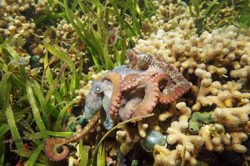 Caribbean reef octopus mating