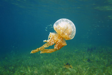 Spotted jelly Mastigias jellyfish in Caribbean sea