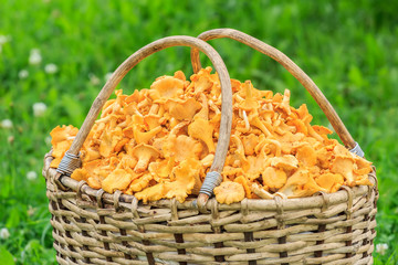 Wicker willow basket of freshly cut mushrooms