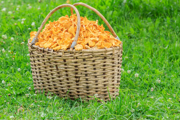 Basket of freshly cut chanterelle mushrooms