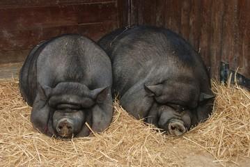 Maiale dorme
