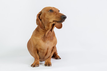 Funny dachshund/Funny dachshund