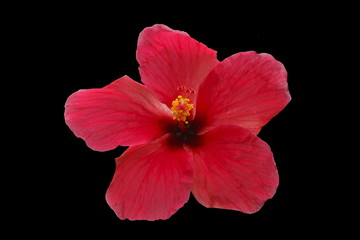 Pink flower isolated on black background