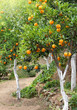 canvas print picture - Mediterranean orange grove trees