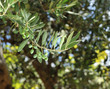 Fresh olive tree branch