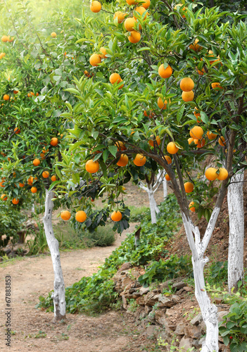 canvas print picture Mediterranean orange grove trees