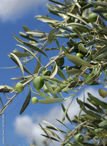 Tuinposter Olijfboom Fresh olive tree branch