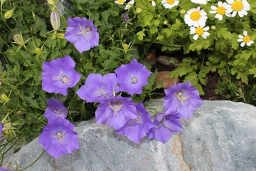 Campanula bloom in the garden