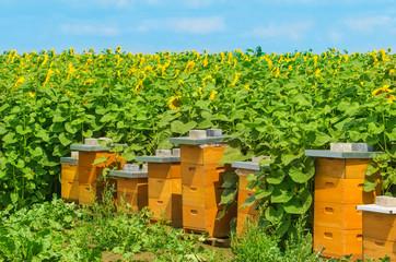 Bienenhäuser am Sonnenblumenfeld