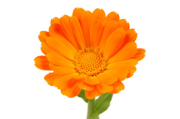 Calendula Officinalis (Pot Marigold) Flower on White Background