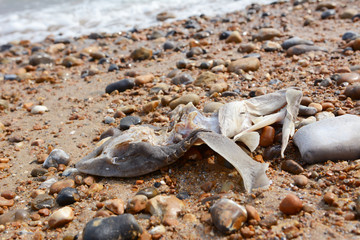 Remains of a smooth-hound shark