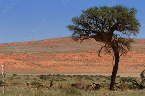 Antelopes in the Namib desert