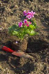 Gardening, Planting geraniums
