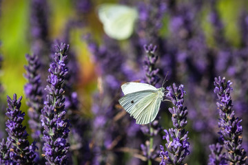 Lavender flower with a butterfly