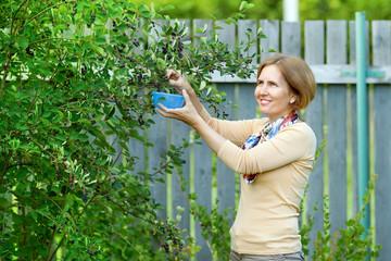 The woman in garden harvesting berries of mespilus