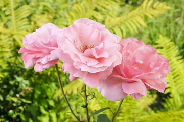 Pink roses in lush summer garden