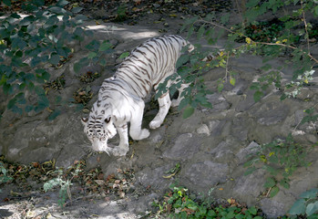 White Benagal Tiger in Beijing Zoo, China